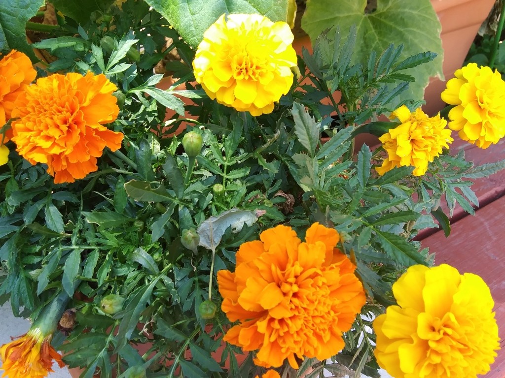 Marigolds to help repel garden pests and attract bees for pollination