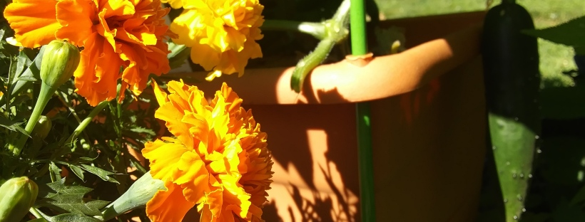 Marigolds and Pickles (cucumbers!) growing in Nonny's Garden
